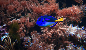Blue fish and anemone. Underwater aquatic life showing a blue tropical fish on a background of anemone stock photos