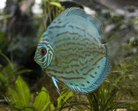 Blue fish in aquarium Stock Photography