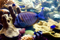 Blue fish in the aquarium Stock Photography