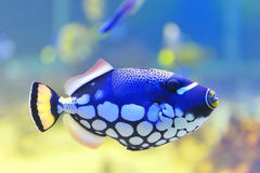 Blue fish aquarium Royalty Free Stock Images