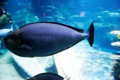 Blue fish. Aquarium love deep blue Royalty Free Stock Photo