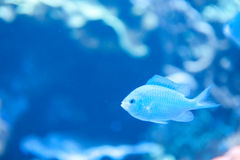 Blue Fish at Aquarium of the Pacific in Long Beach. In 50 Shade of Blue, this fish is cool in his surroundings Stock Photos