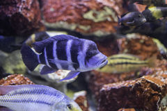 Blue fish in an aquarium. Blue fish with stripes in an aquarium stock photo