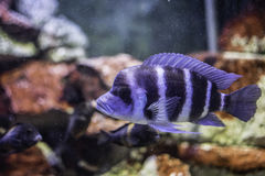 Blue fish in an aquarium. Blue fish with stripes in an aquarium stock photos