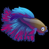 Blue fish cockerel closeup on a black background Royalty Free Stock Photography