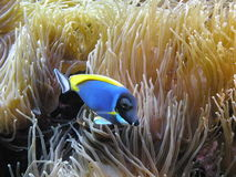 Blue fish and coral. Blue fish and beautiful coral at the aqvarium Royalty Free Stock Images