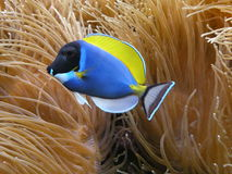 Blue fish and coral. Reef at the water Stock Image