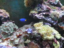 Blue fish and coral Stock Image