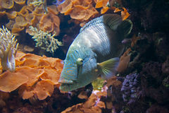 Blue Fish in Coral Royalty Free Stock Images