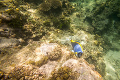 Blue fish on coral reef  in Indian Ocean Stock Photos