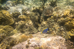 Blue fish on coral reef  in Indian Ocean Royalty Free Stock Images