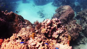 Blue fish among the corals. Underwater Coral Reef and Tropical Fish in Bahamas. Amazing, beautiful underwater world Bahamas and the life of its inhabitants stock footage
