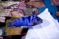 Blue fish gold fins. Bright blue fish with gold fins in the aquarium Royalty Free Stock Photo