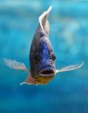 Blue fish Stock Image