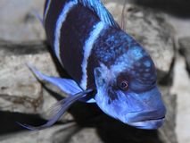 Blue fish with a large mouth swims in warm tropical seas 1 Royalty Free Stock Image