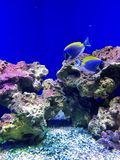 blue Tropical fish Royalty Free Stock Photo