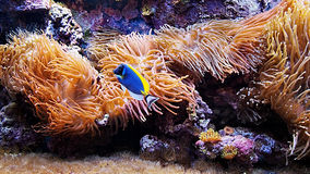 Sea corals and blue fish  Royalty Free Stock Images