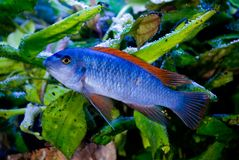 Blue fish red fins 2. Bright blue fish with red fins in the aquarium Royalty Free Stock Images