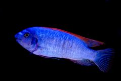 Blue fish red fins isolated. Bright blue fish with red fins isolated on black Royalty Free Stock Photo