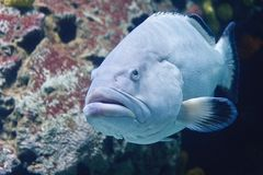 Blue Fish, Rotterdam Zoo Stock Photography