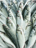 Blue fish Royalty Free Stock Images