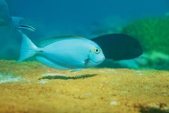 Blue fish swimming on top of table coral Royalty Free Stock Photos