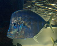 Blue fish. Swims in a tank with clear glass Stock Photos