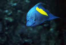 Blue fish with yellow spot at  deep ocean front view looking Royalty Free Stock Photography
