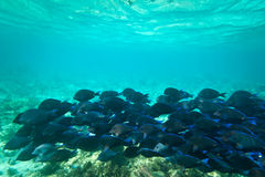Blue fishes in Caribbean Sea. A shoal of blue fishes in Caribbean Sea, Mexico Stock Images