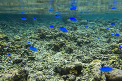 Blue fishes and corals. In Indonesia Stock Photos