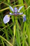 Blue Flag Iris Royalty Free Stock Photos