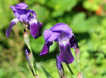 Blue flag Iris. Royalty Free Stock Images