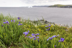 Blue flag irises at Goose Cove royalty free stock image