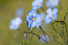 Blue Flax Royalty Free Stock Images