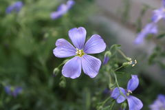 Blue Flax Royalty Free Stock Image