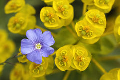 Blue flax. Flower in yellow Euphorbia Stock Image