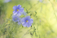 Blue flax on a delicate green background.Delicate flowers of flax in the meadow. Artistic image of flowers. Royalty Free Stock Photos