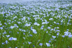 Blue flax field Stock Photo