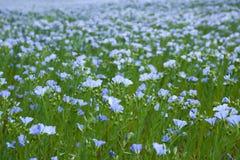 Blue flax field Stock Photo