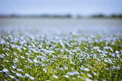 Blue flax field flowers. Nature floral background stock photography