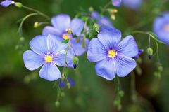 Blue flax flower Royalty Free Stock Images