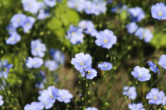 Blue flax flower. With the one in the middle in focused Royalty Free Stock Photo
