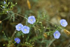 Blue flax flower with buds on green background. Linum perenne in summer field Stock Photo