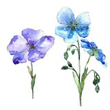 Blue flax flower. Floral botanical flower. Isolated illustration element. Aquarelle wildflower for background, texture, wrapper pattern, frame or border Royalty Free Stock Image