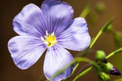 Blue flax flower Stock Photography