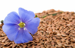 Blue flax flower with seeds isolated Stock Image