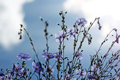 Blue flax flowers against the sky Stock Images