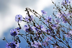 Blue flax flowers against the sky Royalty Free Stock Image