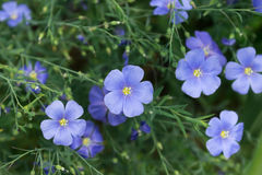 Blue flax flowers. Blooming blue flax flowers in the summer Stock Photography