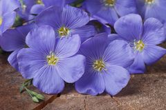Blue flax flowers close up  horizontal Stock Photography